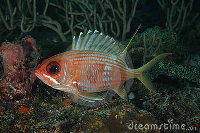 Squirrelfish de Longspine