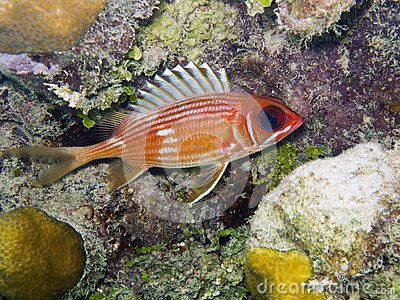 Squirrelfish de Longspine (rufus do Holocentrus)