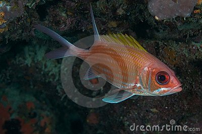 Squirrelfish-Holocentrus adscensionis