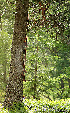 Squirrels climbing tree