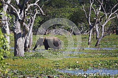 Sri Lanka: Elephant in Yala