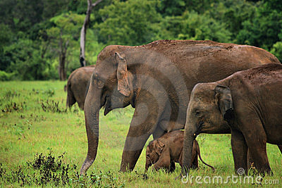 Sri Lanka: Elephants in Kaudulla
