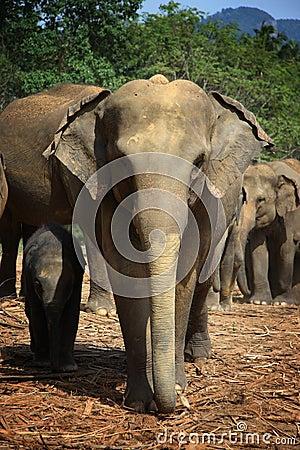 Sri Lanka: Elephants of Pinnawela