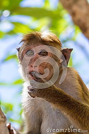 Free Sri Lanka Monkey Royalty Free Stock Photos - 81015378