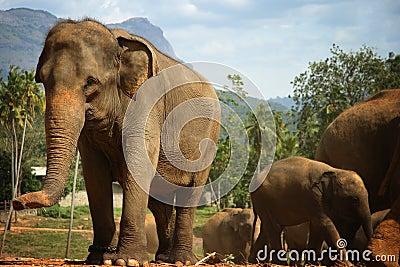 Sri Lanka: Pinnawela Elephants