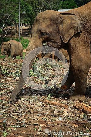 Sri Lanka: Wounded Pinnawela Elephant