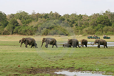 Sri Lankan Elephant Stock Images - Image: 16899534