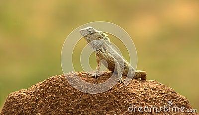 Sri Lankan Gecko