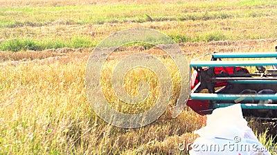 Srisaket, Thailand - Nov 16 2018: Farmer use mini combine harvester on  paddy field  turn around  nice warm color of rice