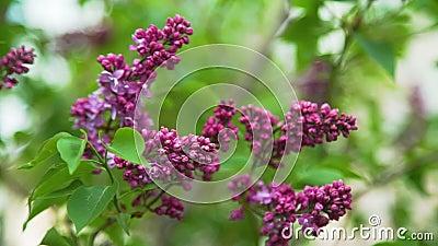 Stäng sig upp av våren som blommar den lila blomningen stock video