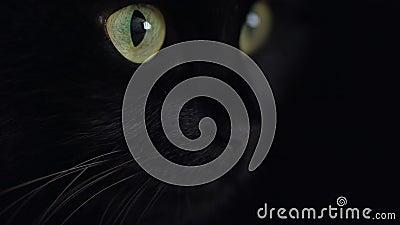 Stäng upp porträttet på en svart fluffy-katt med gröna ögon Halloween-symbol stock video