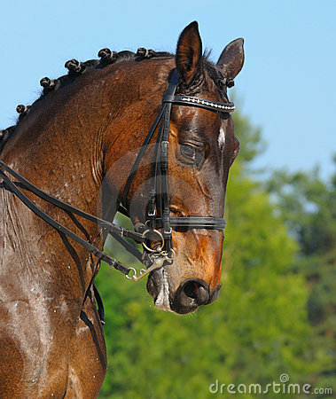 Stående för fjärddressagehäst