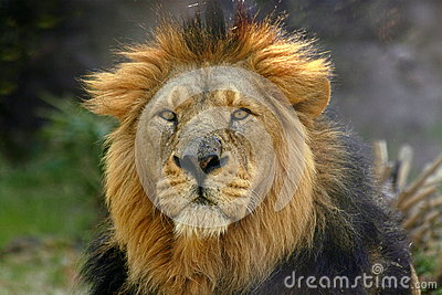 Stående för panthera för leo lion male
