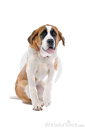 St. Bernard dog raising paw