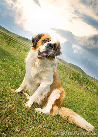 St. Bernard dog sitting