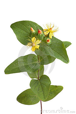 St.Johns wort in autumn