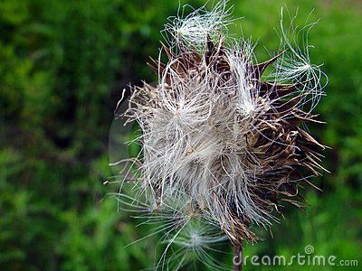 St Mary Thistle Seed Stock Photo