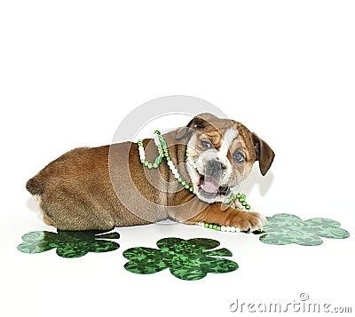 St Patricks Day Bulldog Puppy.
