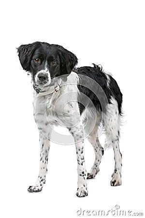 Stabyhoun dog