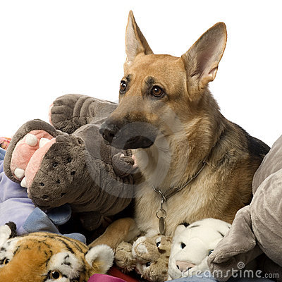 Stack of teddy and a german shepherd