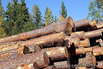 Stacked Pine Logs with Blue Sky