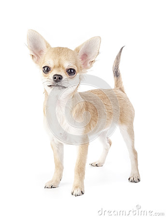 Stacking purebred chihuahua puppy