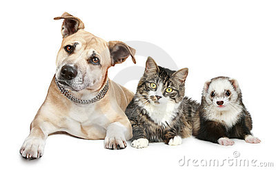Staffordshire terrier cat and ferret