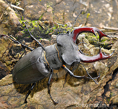 Free Stag Beetle Stock Images - 16720944