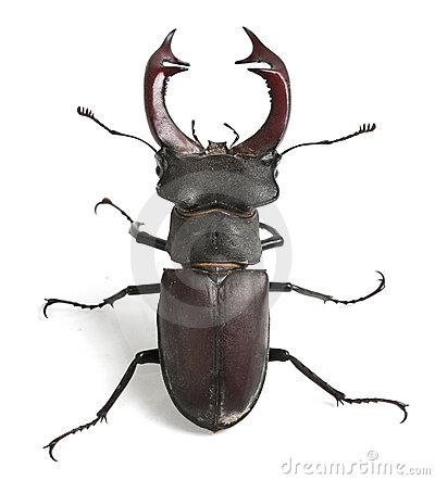 Free Stag Beetle Stock Images - 17005414