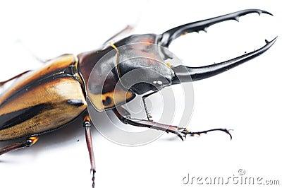 Stag-beetle eye(Prosopocoilus fabricei takakuwai )