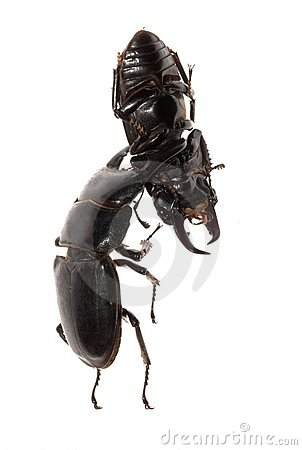 Stag beetle fighting