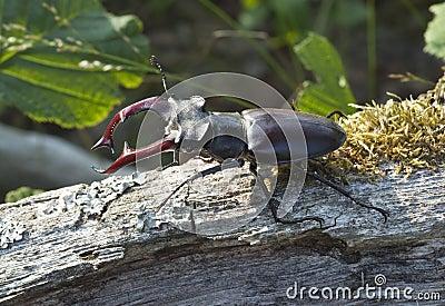 Stag beetle (Lucanus cervus) sitting on tree.
