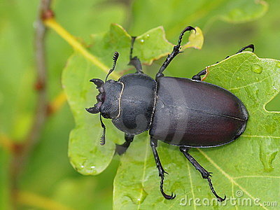 Stag beetle male, Dorcus parallelipipedus