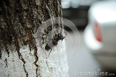 Stag Beetle on Tree