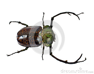A stag-beetle