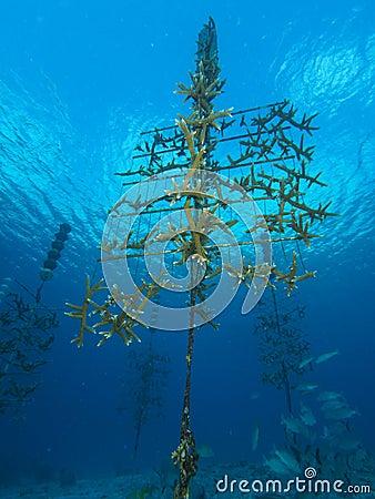 Staghorn Coral nursery