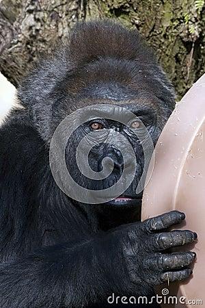 Stairing Gorilla