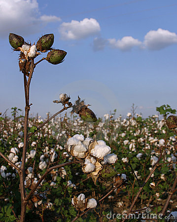 Stalk of Cotton in Field