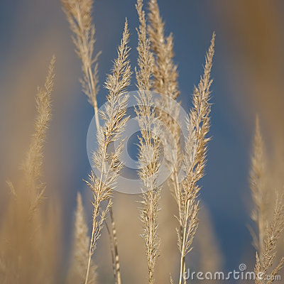 Free Stalk Grass Stems, Large Detailed Texture Macro Closeup, Yellow, Beige, Textured Background, Gentle Bokeh, Blue Autumn Sky Royalty Free Stock Image - 78294496