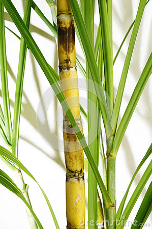 Free Stalk Of Sugarcane Stock Images - 44622104