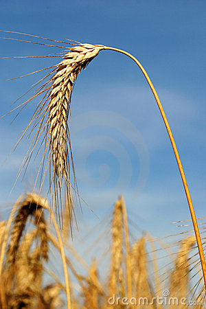 A Stalk of Wheat Isolated against a Blue Sky