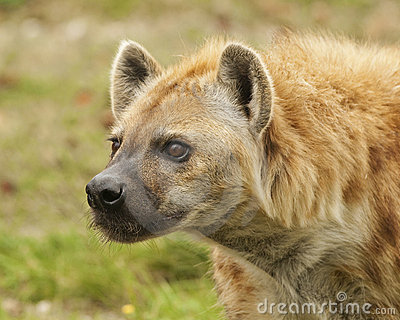Stalking Hyena