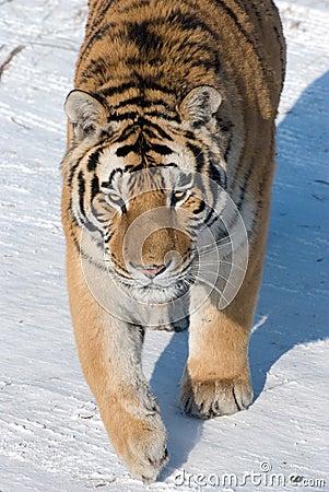 Stalking Siberian Tiger