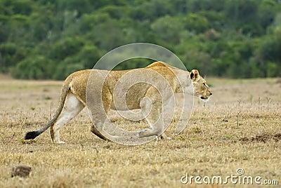 Stalking Warthog2