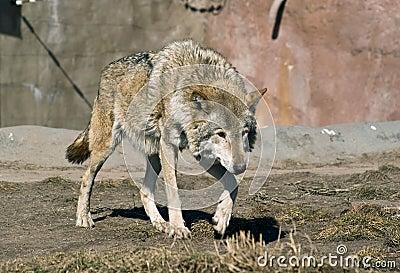 Stalking wolf