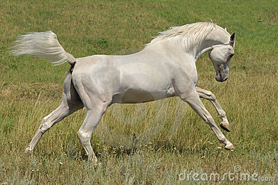 Stallion arabian white horse running wild