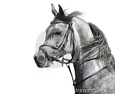 Stallion arabo