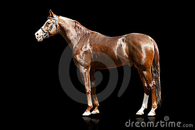 Stallion arabo isolato