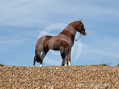 Stallion On Beach