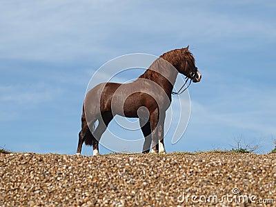 Stallion On Beach